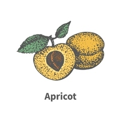 Hand-drawn ripe yellow apricot piece half bone vector