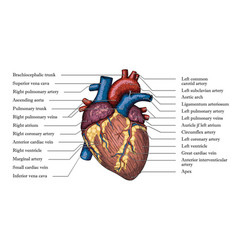anatomical human heart hand drawn color poster vector image vector image