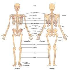 Skeletal structure vector