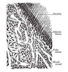 This represents section of pulp tissue of tooth vector
