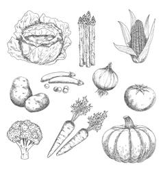 Ripe farm vegetables engraving sketches vector