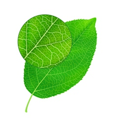 Detailed green leaf vector