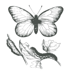 Butterfly ink drawing vector