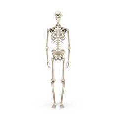 Realistic skeleton human anatomy isolated on white vector