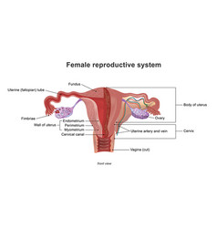 The female reproductive system vector