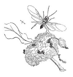 gall wasp vintage vector image vector image