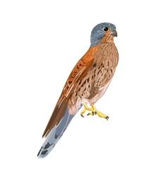 Kestrel predatory bird vector
