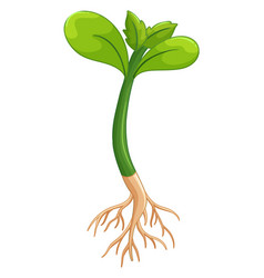 plant with green leaves and roots vector image vector image