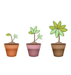 Dieffenbachia Picta Marianne Plant in Ceramic Pot vector image