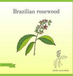 Aniba rosaeodora or brazilian rosewood or vector