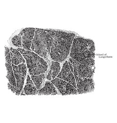 Section of pancreas showing arrangement of vector