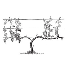 Ideal vine for cane renewal vintage vector
