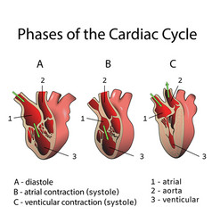 Phases of the cardiac cycle vector