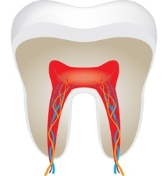 Cross section of tooth vector image