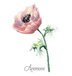 Delicate watercolor anemone vector image vector image
