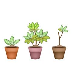 Three Dieffenbachia Picta Marianne Plant in Pot vector image