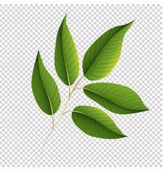 Green leaves on transparent background vector