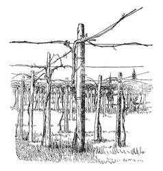 Cross-wire system of grape training vintage vector