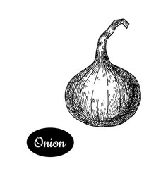 hand drawn sketch style onion vector image