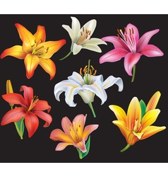 Set of lilies heads on black background vector image