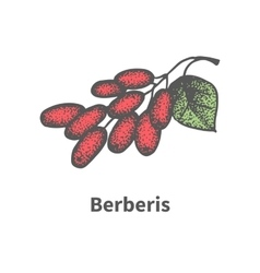 Hand-drawn bunch of ripened red barberry vector