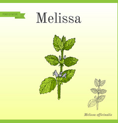 Melissa known as lemon balm aromatic kitchen and vector