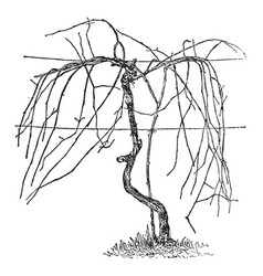 Unpruned vine according to the umbrella system vector