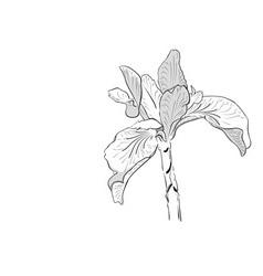Iris drawing vector