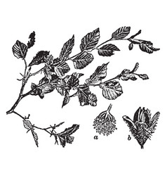 Common beech vintage vector
