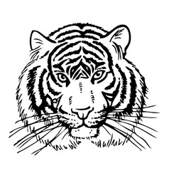 tiger picture vector image vector image