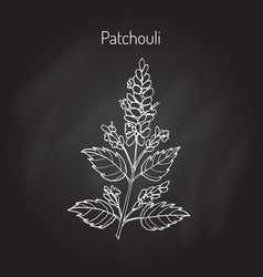 Pachouli - aromatic and medicinal plant vector
