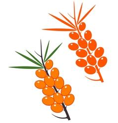 Sea buckthorn berries vector image vector image