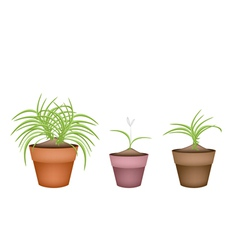 Three Dracaena Plants in Ceramic Flower Pots vector image