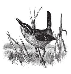Marsh wren vintage vector