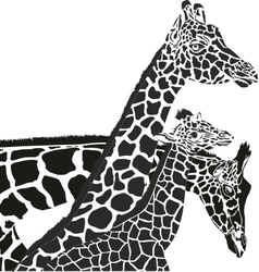Giraffe heads vector image