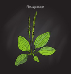 Great plantain plantago major - medicinal plant vector