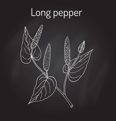 Ayurvedic plant long pepper piper longum pippali vector