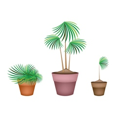 Lady palm tree in ceramic flower pots vector