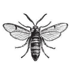 Hornet moth vintage vector