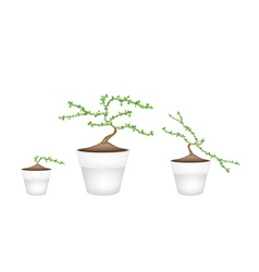 Three masam bonsai in ceramic flower pots vector
