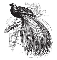 Greater bird of paradise vintage vector