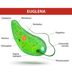 Structure of a euglena vector image vector image