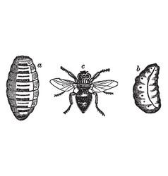Ox botfly vintage vector