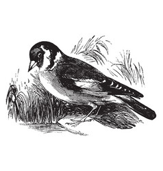 Goldfinch vintage vector