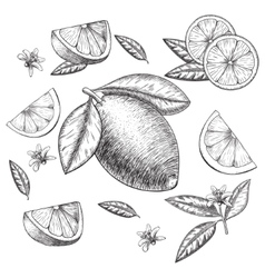 Hand drawn lime or lemon set whole vector