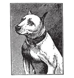 Bull terrier vintage vector