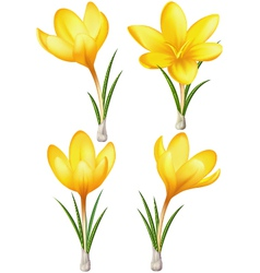 Set of yellow crocuses vector