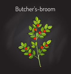 Butcher s broom ruscus aculeatus  or knee holly vector