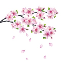 Branch of sakura blooming Japanese cherry tree vector image