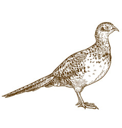 Engraving drawing of pheasant female vector